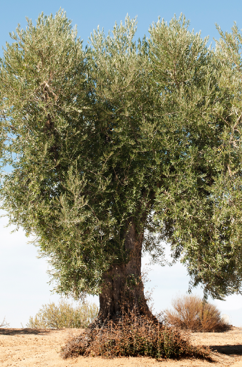 The Olive Tree International Olive Council