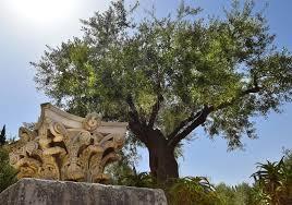 olivicoltura in giordania