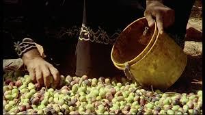 raccolta in giordania