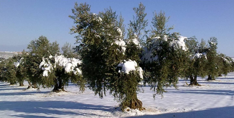 olivo-nieve